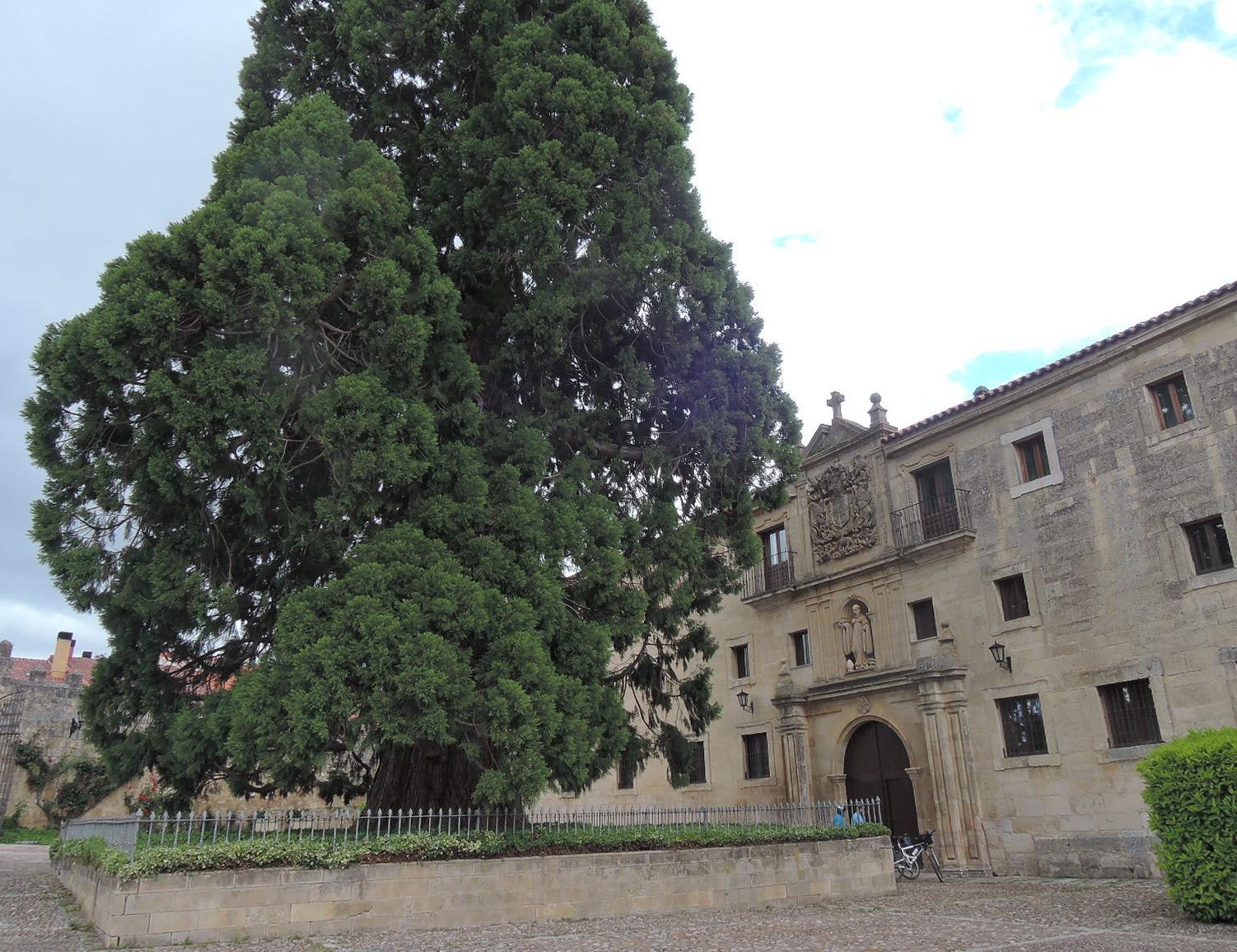 Abeto centenario en el patio de entrada del monasterio de Silos.