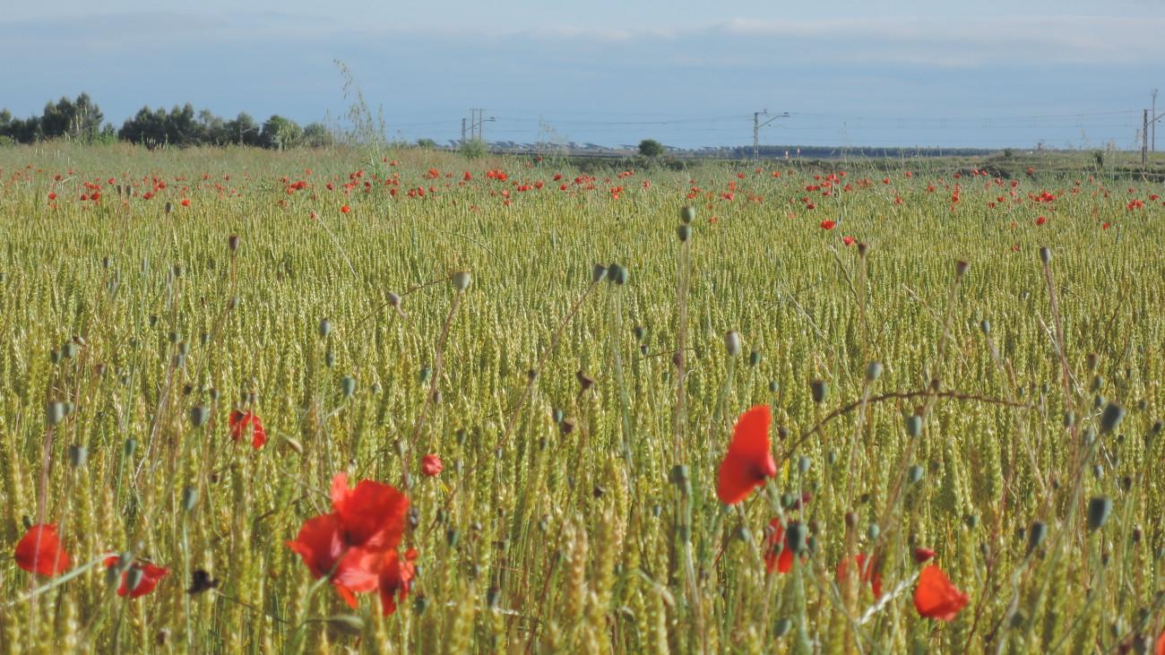 Amapolas entre el trigo, cerca de Beire.