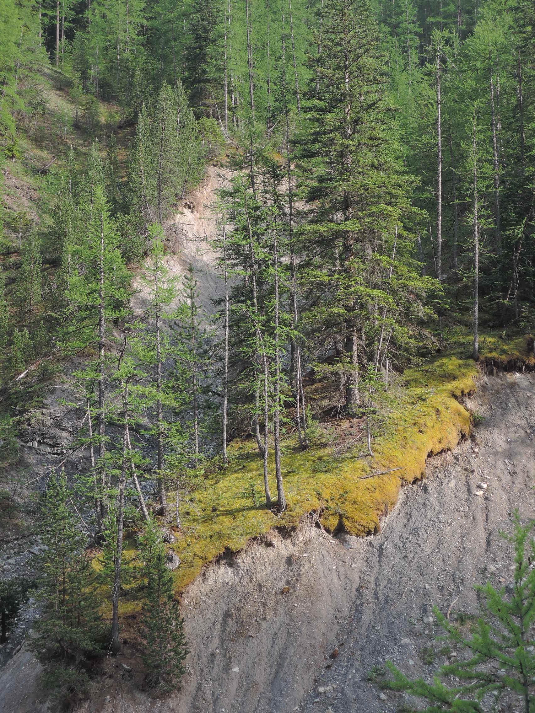 La fuerte y viva erosión dará muerte a estos árboles.
