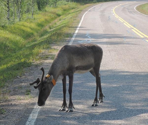 Otro reno, paciendo en la cuneta