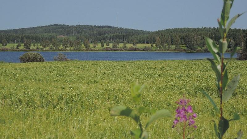 Trigales aún verdes en agosto, cerca de Varpaisjarvi
