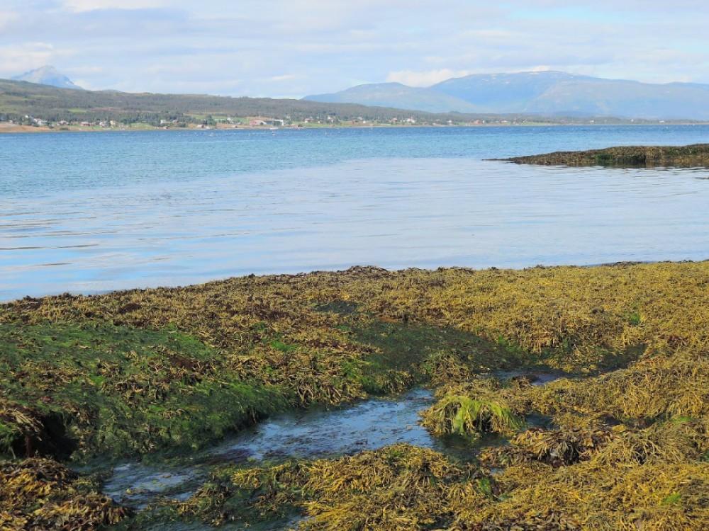 Una gruesa y saludable capa de algas cubre las orillas de los fiordos