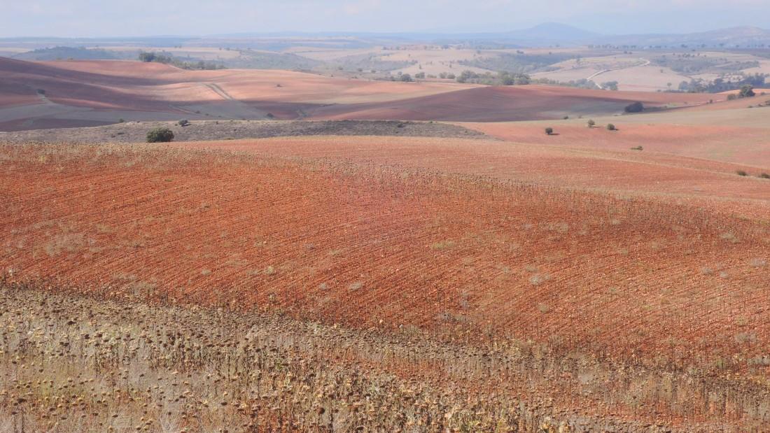Pobres campos de girasoles